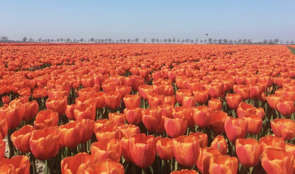 Le krach des Tulipes